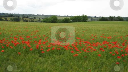 Poppy field stock photo, Poppy field in Suffolk England by Waldy Wisniewski