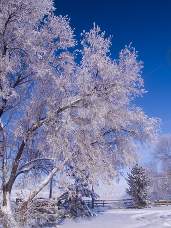 Winter Morning Ranch stock photo, A winter image of a frosted tree at a Colorado Ranch. by John McLaird