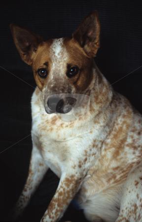 Blue Heeler stock photo, Dog Blue Heeler by Mallorey Orcutt