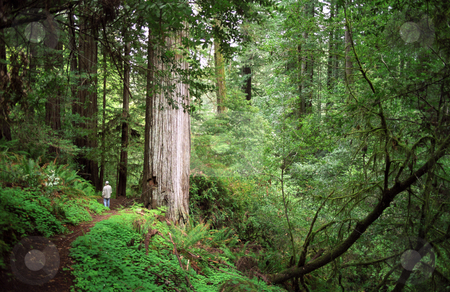 Hiker In Southern Oregon Coast Redwoods stock photo, Hiker hiking along a trail in the Redwoods of Southern Oregon Coast by Mallorey Orcutt