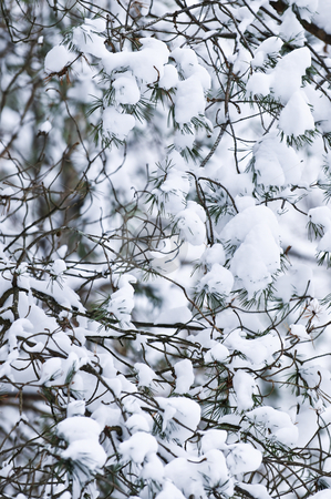 Winter branches stock photo, Winter tree branches covered with fluffy snow by Elena Elisseeva