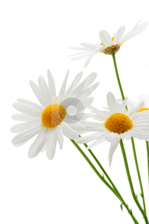 daisies on white background stock photo, Beautiful flower