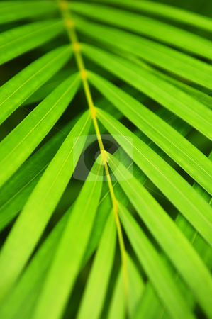 Palm tree leaves stock photo, Botanical background of green palm tree leaves close up by Elena Elisseeva