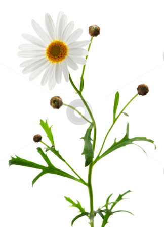 Daisy on white background stock photo, Daisy plant with a flower isolated on white background by Elena Elisseeva