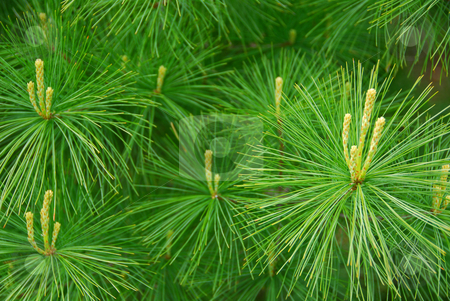 Pine needles stock photo, Background of young new pine needles in the spring by Elena Elisseeva