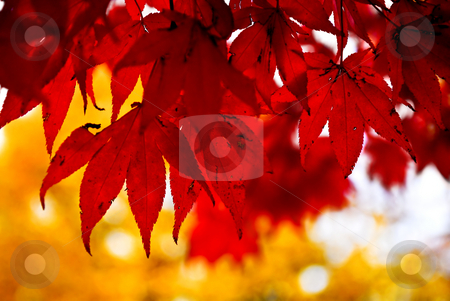 Fall leaves background stock photo, Red fall leaves of japanese maple close up by Elena Elisseeva