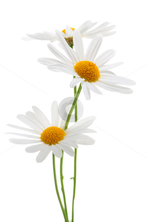 Daisies on white background stock photo, Daisy flowers isolated on white background by Elena Elisseeva