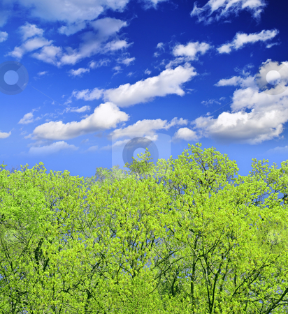 Spring forest stock photo, Spring forest with young foliage and blue sky by Elena Elisseeva