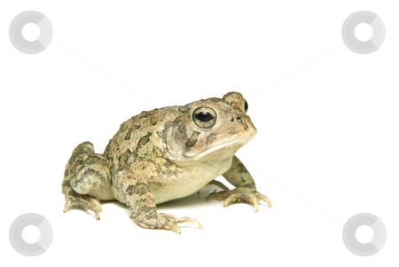 Southern Toad Right Profile stock photo, Southern Toad (Bufo terrestris) Isolated on a white background by A Cotton Photo