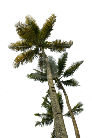 Multiple Palm Trees Isolated stock photo, Upward view of multiple tropical palm trees isolated on white by A Cotton Photo