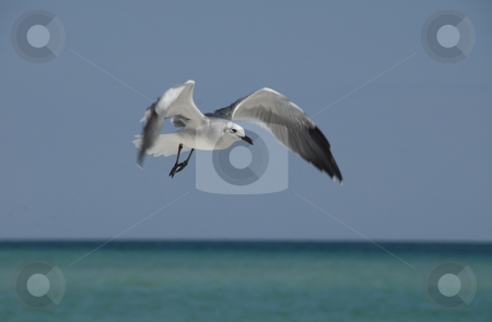 Flying Gull stock photo, A seagull flies along the beach on a bright clear blue day by A Cotton Photo