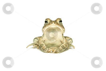 Southern Toad Indignant stock photo, Southern Toad (Bufo terrestris) Isolated on a white background by A Cotton Photo