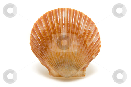 Studio Shell stock photo, Bright shell isolated on a white background by A Cotton Photo