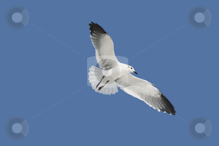 Laughing Gull in Flight stock photo, Laughing Gull (Larus atricilla) flying above, isolated on a blue background by A Cotton Photo