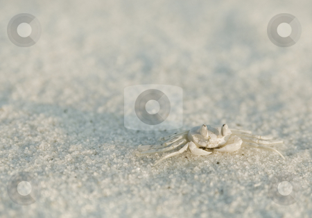 Pallid Ghost Crab stock photo, Pallid Ghost Crab (Ocypode pallidula) waits for an opening to flee back to it's burrow by A Cotton Photo