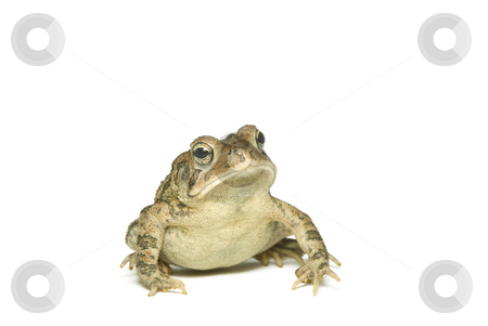 Southern Toad Leaning stock photo, Southern Toad (Bufo terrestris) Isolated on a white background by A Cotton Photo