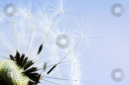Dandelion stock photo, Macro of dandelion seeds on blue sky background by Elena Elisseeva