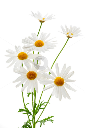 Daisies on white background stock photo, Daisy plant with flowers isolated on white background by Elena Elisseeva