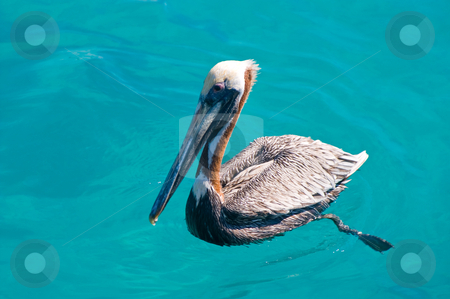Floating pelican stock photo, Floating pelican in kristal clear sea by Karin Claus