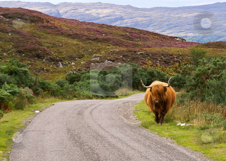 Highlander on the loose stock photo, Scottish highlander walking free in the landscape by Karin Claus