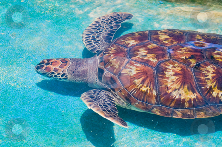 Swimming sea turtle stock photo, Swimming sea turtle in clear turquoise sea water by Karin Claus