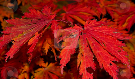 Red  autumn leaves stock photo, Nice vivid red colored detail of autumn leaves by Karin Claus