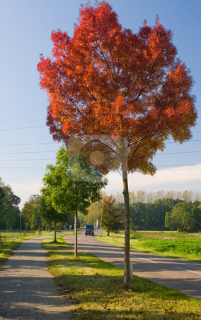 Red autumn tree stock photo, One red autumn tree on the road side by Karin Claus