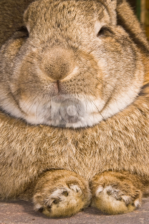 Rabbit resting stock photo, Close up of a rabbit in resting mode by Karin Claus