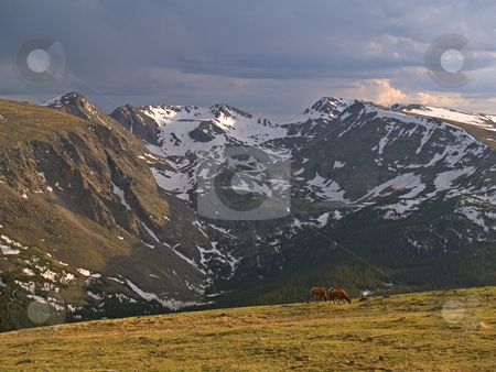 Alpine Pastoral  stock photo, Elk dining above the tree line along Trail Ridge - Rocky Mountain National Park by John McLaird