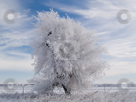 White Tree stock photo, White along US highway 281 in Northern Nebraska on a December morning. by John McLaird