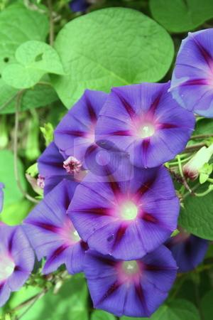 Morning Glories stock photo, Vine of purple Morning Glories by Debbie Hayes