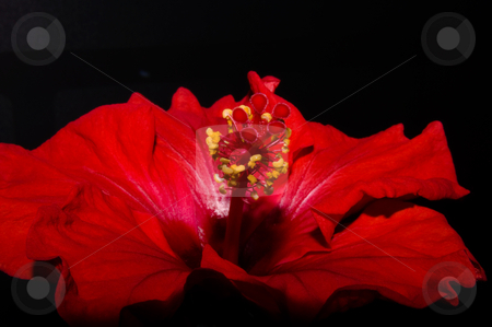 Red hibiscus stock photo, Close up of a red hibiscus on dark background by Karin Claus