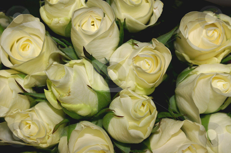 Bouquet stock photo, A bouquet of cream colored roses by Karin Claus