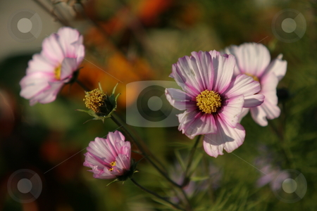 Pink flowers stock photo, Late autumn flowers by Arve Bettum