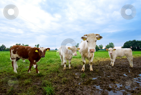Curious cows stock photo, Curious cow with some calves on a mud pasture and rain clouds in the back by Karin Claus