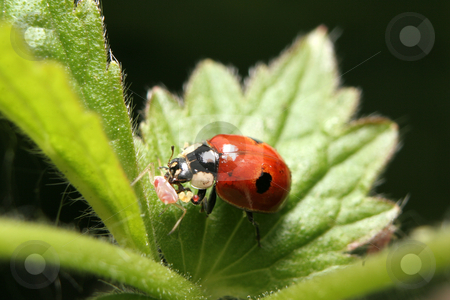Two-Spotted Ladybird With Prey stock photo, A two-spotted ladybird eating an aphid on a nettle plant by Steve Smith