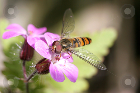 A Hoverfly on a pink flower stock photo, A Hoverfly feeding on a pink flower by Steve Smith