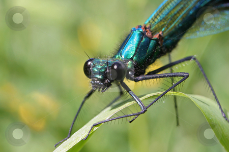 Banded Demoiselle stock photo, A close-up view of a Banded Demoiselle pearched on a blade of grass by Steve Smith