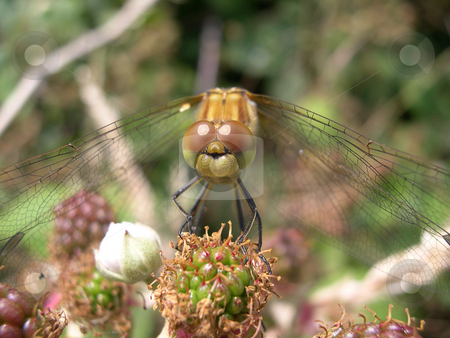 Resting Dragonfly stock photo, A dragonfly resting on a bramble plant by Steve Smith