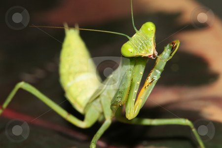 African Mantis - Sphodromantis lineola stock photo, An African Mantis (Sphodromantis lineola) cleaning itself by Steve Smith