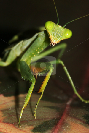 An African Mantis (Sphodromantis lineola) stock photo, A An African Mantis (Sphodromantis lineola) perched on a leaf by Steve Smith