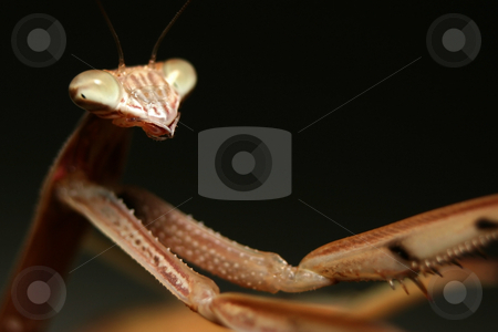 A Chinese Mantis (Tenodera aridifolia sinensis) stock photo, A Chinese Mantis (Tenodera aridifolia sinensis) with it's arms outstretched into the right of the frame by Steve Smith