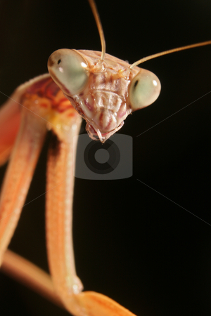 A Chinese Mantis (Tenodera aridifolia sinensis) stock photo, A close-up image of a A Chinese Mantis (Tenodera aridifolia sinensis) head and forearms by Steve Smith