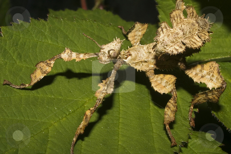 Mackleys Spectre Stick Insect nymph stock photo, An immature Mackleys Spectre Stick Insect mymph on a bramble leaf by Steve Smith