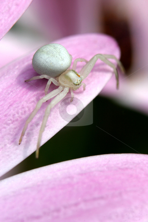 White Crab Spider stock photo, A White Crab Spider stands ready for prey on a flower by Steve Smith