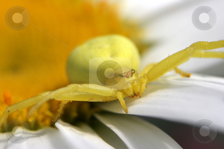 Yellow Crab Spider stock photo, A Yellow Crab Spider on a daisey flower awaiting prey with arms outstretched by Steve Smith