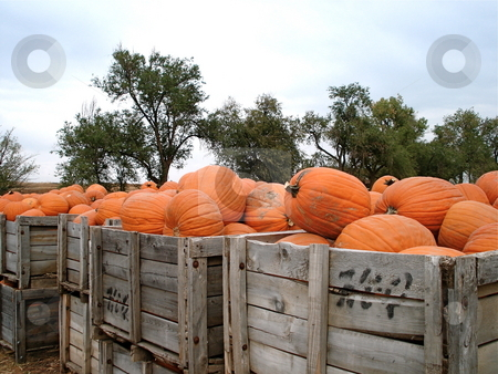 Crates full of Pumpkins stock photo, Wooden crates have lots of pumpkins at a harvest festival near Denver, Colorado in October. by Ben O'Neal