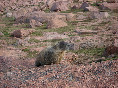 Yellow Bellied Marmot stock photo, A marmot climbs around on the rocks on a Colorado Mountainside. by Ben O'Neal