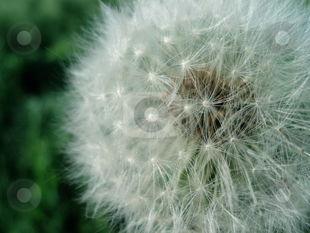 Dandelion stock photo, A dandelion in the Summer sunlight in front of a green background. by Ben O'Neal