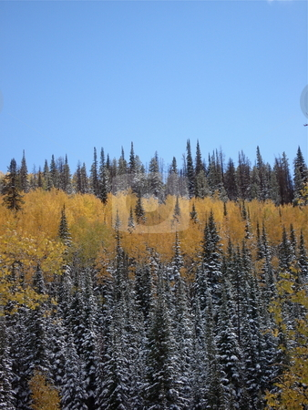 Fall Aspens in Colorado stock photo, Aspen trees change color in Fall in Colorado. by Ben O'Neal